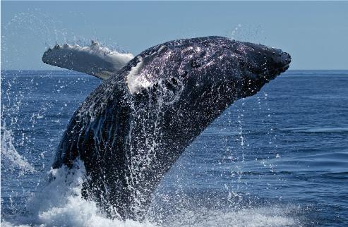 南極海での日本の調査捕鯨が禁止に