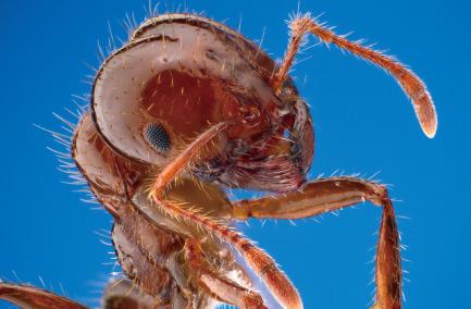 南米原産の猛毒アリ「ヒアリ」を発見